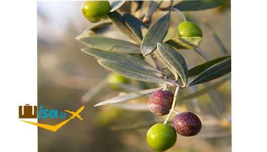 اقتصاد یونان ( زیتون مهم ترین محصول کشاورزی)