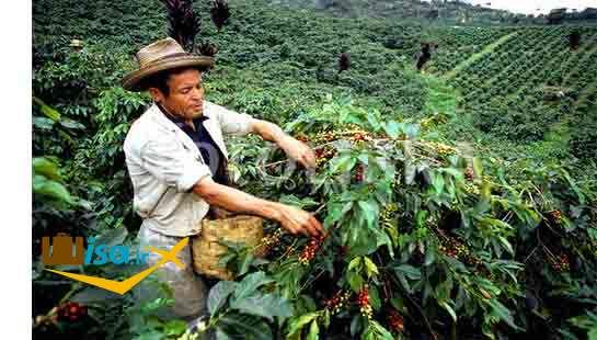 اقتصاد ریو دو ژانیرو ( مزارع قهوه)