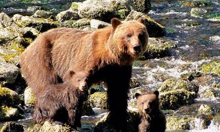خرس قهوه ای یوکون